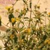 Phlomis cypria ssp cypria