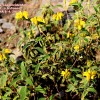 Phlomis cypria ssp occidentalis