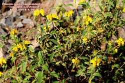 Phlomis cypria ssp occidentalis
