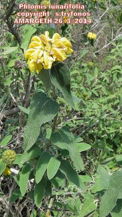Phlomis lunarifolia