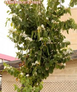 Bauhinia variegata var candida