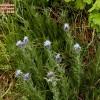 Carthamus caeruleus