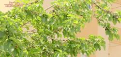 Morus alba
