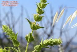 Sideritis perfoliata