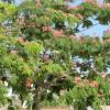 Albizia julibrissin