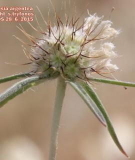 Lomelosia argentea