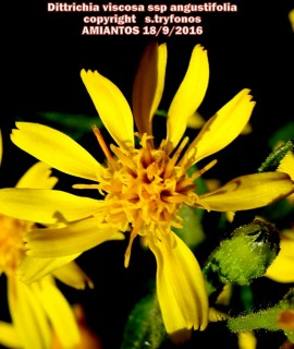 Dittrichia viscosa ssp angustifolia