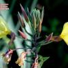 Oenothera glazioviana
