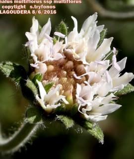 Pterocephalus multiflorus ssp multiflorus
