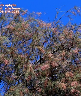 Tamatix aphylla