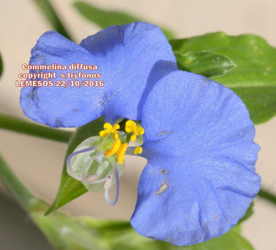 Commelina erecta