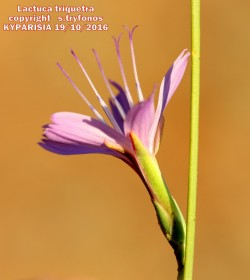Lactuca triquetra