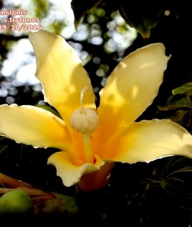 Ceiba insignis