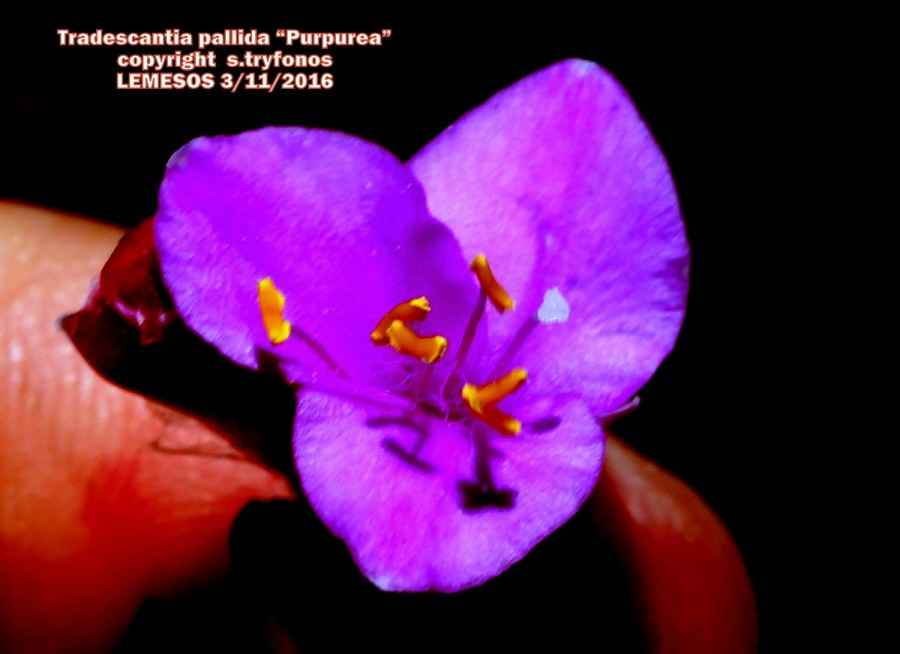 "Tradescandia pallida ""Purpurea"""