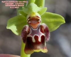 Ophrys umbilicata subsp. attica