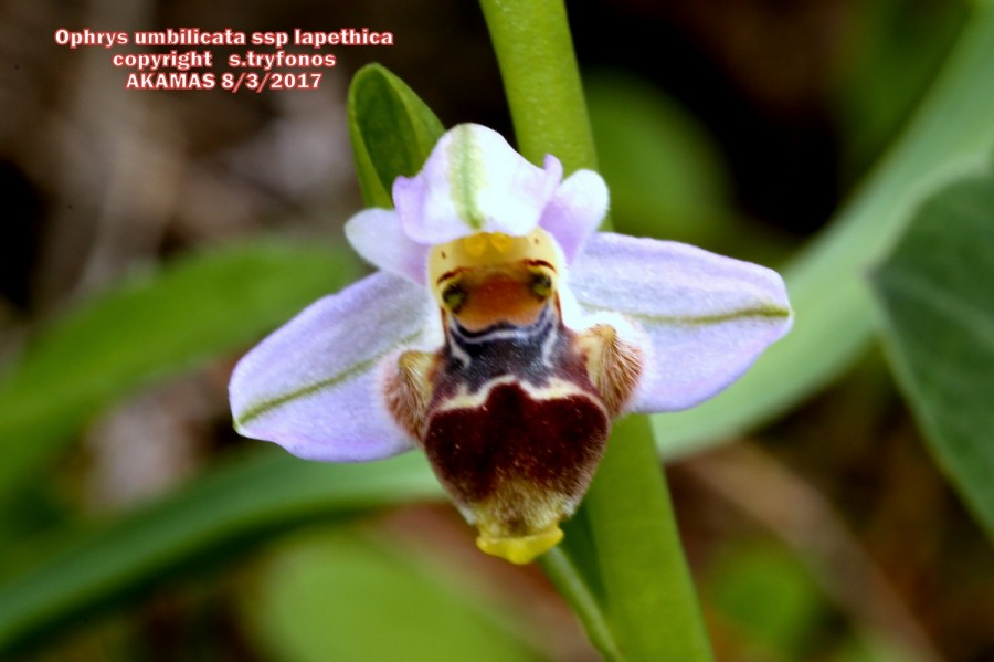 Ophrys umbilicata subsp. lapethica