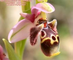 Ophrys umbilicata Desf. subsp.umbilicata