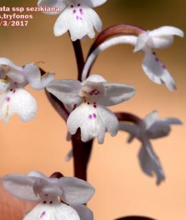 Orchis quadripunctata subsp. sezikiana