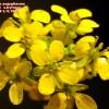 Ochthodium aegyptiacum