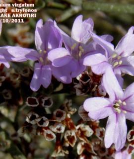 Limoniumvirgatum