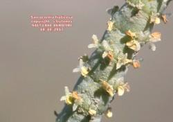 Sarcocornia fruticosa
