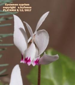 Cyclamen cyprium