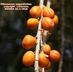Pittosporum angustifolium
