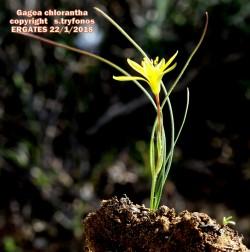 Gagea chlorantha