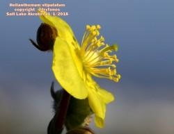 Helianthemum stipulatum