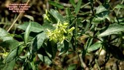 Cypriniagracilis