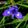 Moraeasisyrinchium