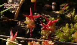 Sedumcaespitosum