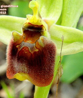 Ophrysbornmuellerisubsp.grandiflora