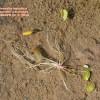 Limosella aquatica