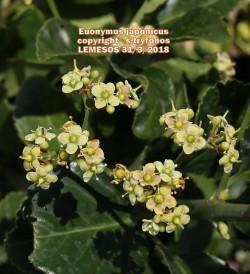 Euonymous japonicus
