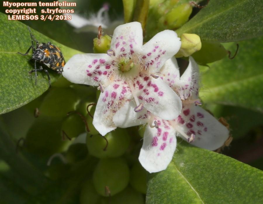 Myoporum tenuifolium
