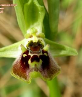 Ophrysbornmuellerisubsp.bornmuelleri