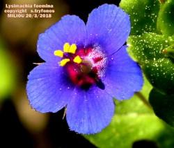 Lysimachia foemina