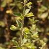 Acanthoprasiumintegrifolium