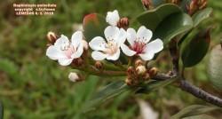Raphiolepis umbellata