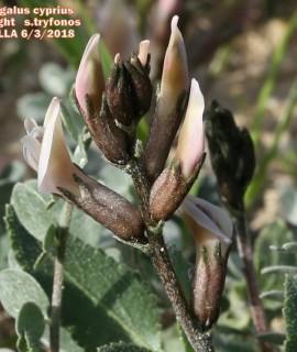 Astragalus cyprius