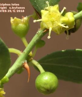 Ziziphus lotus