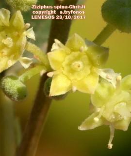 Ziziphus spina-Christi