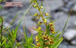 Epipactis veratrifolia