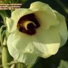 Abelmoscus esculentus