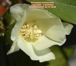 Gosypium herbaceum