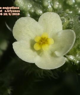 Anchusa aegyptiaca