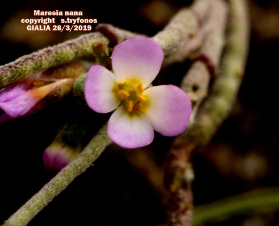 Maresia nana