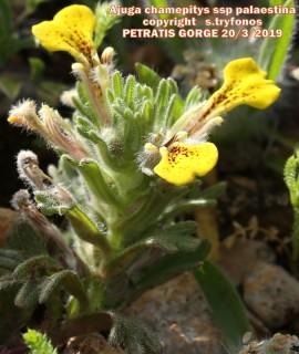 Ajuga chamaepitys ssp palaestina