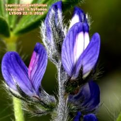 Lupinus micranthus